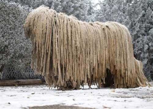 """Chú chó có bộ lông """"khủng"""" nhất thế giới - 2"""