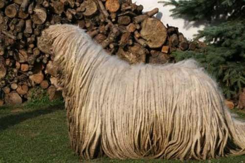 """Chú chó có bộ lông """"khủng"""" nhất thế giới - 3"""