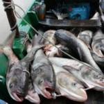 Tin tức trong ngày - Xả lũ, dân đổ xô đi hớt cá