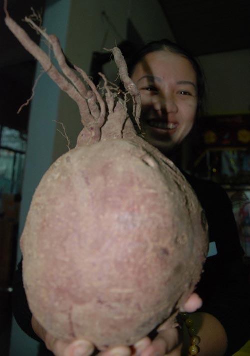 """Củ khoai lang """"khủng"""" tại Đà Nẵng - 1"""