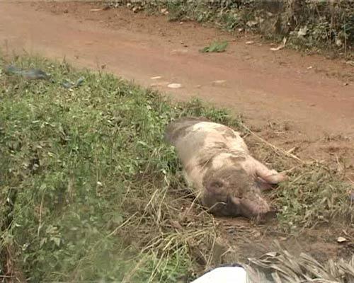 Quảng Ngãi: Hơn 233 ngàn gia súc, gia cầm chết vì lũ - 1