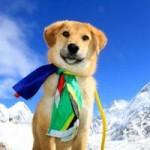Tin tức trong ngày - Chú chó đầu tiên chinh phục núi Everest