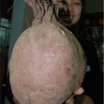 """Phi thường - kỳ quặc - Củ khoai lang """"khủng"""" tại Đà Nẵng"""