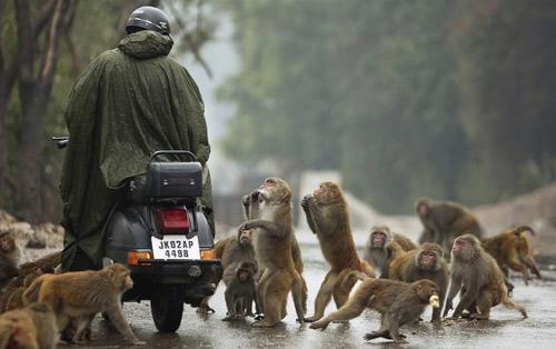 Ấn Độ: Triệt sản khỉ làm loạn thành phố - 1
