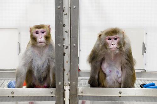 Ấn Độ: Triệt sản khỉ làm loạn thành phố - 2