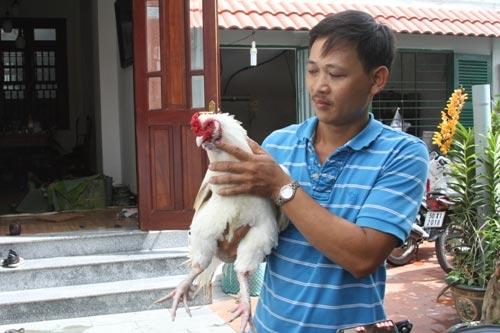 Cận cảnh chú gà 9 cựa ở Sài Gòn - 1