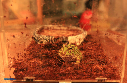 Những chú ếch trị giá tiền triệu của teen Việt - 3