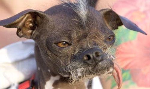 Chú chó xấu nhất thế giới qua đời - 3