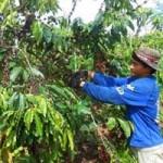 Thị trường - Tiêu dùng - Nỗi khổ cà phê được mùa, rớt giá