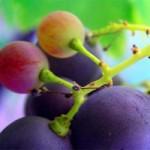 Sức khỏe đời sống - Công dụng tuyệt vời từ hạt nho