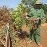 Thị trường - Tiêu dùng - Quất rụng trái, nông dân thiệt hại nặng