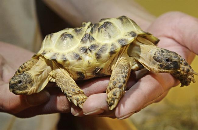 Một chú rùa được sinh ra với hai đầu tách biệt nằm ở hai hướng khác nhau