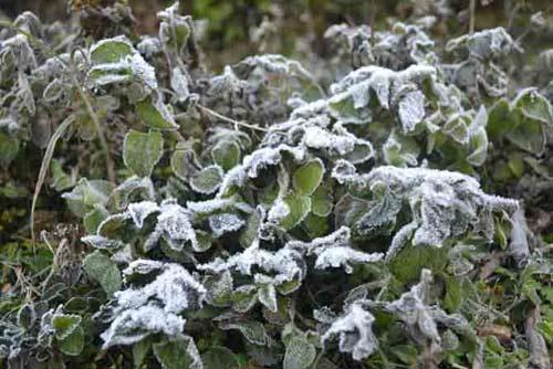 Ảnh: Tuyết vừa dứt, sương muối tấn công Lào Cai - 3