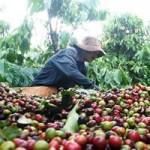 Thị trường - Tiêu dùng - Người trồng cà phê oằn mình trả nợ
