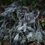 Tin tức trong ngày - Ảnh: Tuyết vừa dứt, sương muối tấn công Lào Cai