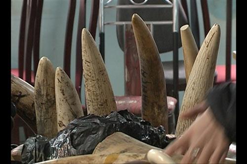 Bắt 200 kg ngà voi tại sân bay Nội Bài - 1