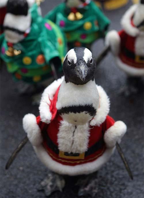 """Video: Chim cánh cụt hoá ông già Noel """"lạch bạch"""" - 4"""