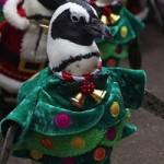 """Phi thường - kỳ quặc - Video: Chim cánh cụt hoá ông già Noel """"lạch bạch"""""""
