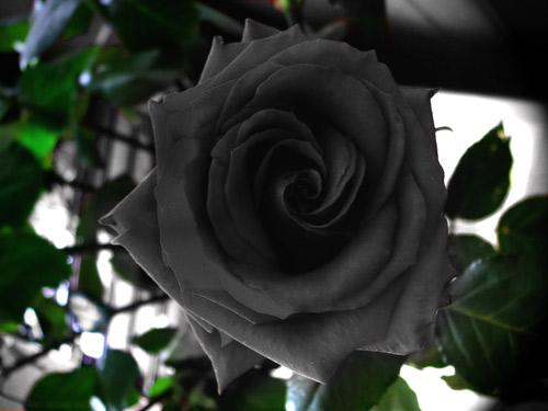 """Hoa hồng """"phù thủy"""" là có thật - 3"""