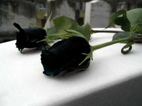 """Hoa hồng """"phù thủy"""" là có thật - 5"""