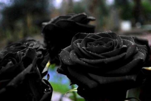 """Hoa hồng """"phù thủy"""" là có thật - 1"""