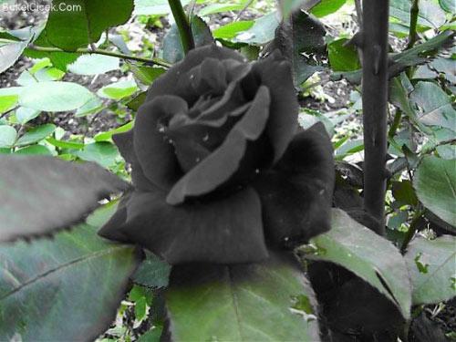 """Hoa hồng """"phù thủy"""" là có thật - 6"""