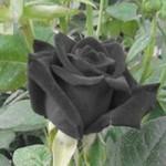 """Phi thường - kỳ quặc - Hoa hồng """"phù thủy"""" là có thật"""