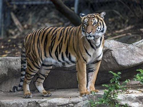 """Mỹ: Hổ đực cắn chết """"bạn gái"""" trong vườn thú - 1"""