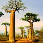 Du lịch - Ngoạn mục đại lộ cây bao báp ở Madagascar