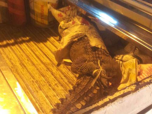 TPHCM: Hoảng hồn thấy cá sấu rơi ngay trước mặt - 1