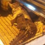 Tin tức trong ngày - TPHCM: Hoảng hồn thấy cá sấu rơi ngay trước mặt