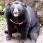 Tin tức trong ngày - Gấu tang vật bị ốm vì thời tiết bất thường