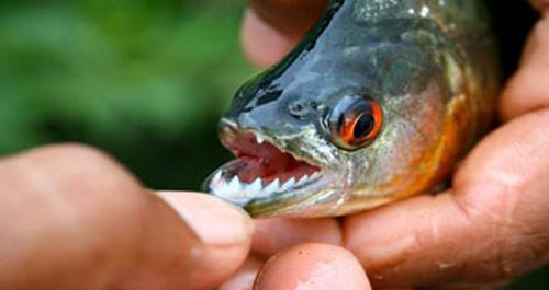Argentina: Cá ăn thịt tấn công 70 người - 2