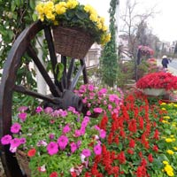 Chùm ảnh: Đà Lạt rực rỡ sắc hoa