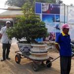 Thị trường - Tiêu dùng - Mai Tết Sài Gòn: Hàng giá rẻ được ưu ái