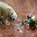 Tin tức trong ngày - Ảnh đẹp: Gấu Bắc Cực ăn mừng sinh nhật