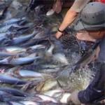 Thị trường - Tiêu dùng - Báo động: Ngành cá tra đang thoái trào