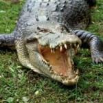 Tin tức trong ngày - Zimbabwe: Cha quần nhau với cá sấu cứu con trai