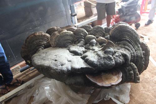 Phát hiện cây nấm linh chi ngàn tuổi, nặng gần 200kg - 1