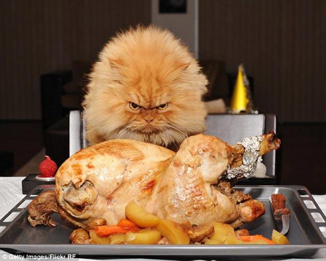 Chú mèo Ba Tư tên Garfi có bộ dạng cau có nhưng lại rất nổi tiếng.