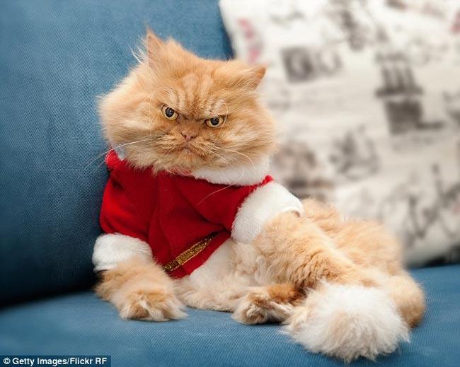 Chú có bộ dạng giống hệt nhân vật điện ảnh nổi tiếng Garfield - chú mèo mập ú, lười biếng và hài hước.