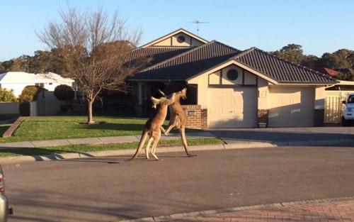 """Video 2 chú kangaroo """"đánh nhau kiểu Úc"""" - 1"""