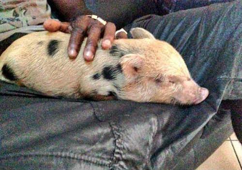 Balotelli sa sút phong độ vì… lợn cưng - 1