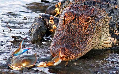 Ảnh đẹp: Cá sấu đói bất lực trước con cua nhỏ - 7