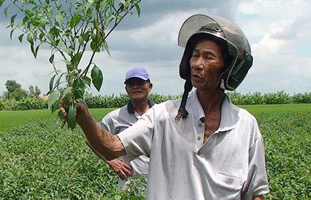 Nông dân khóc ròng vì trồng ớt không trái - 1