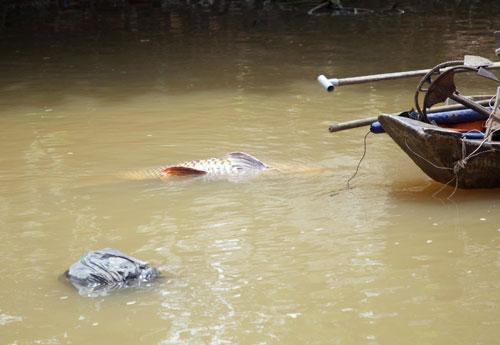 """Bắt cá hô """"khủng"""" giá 200 triệu đồng giữa Sài Gòn - 1"""
