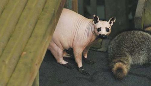 """Những động vật """"trụi lông, rụng tóc"""" kỳ lạ - 5"""