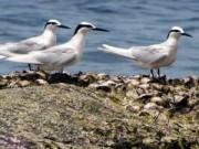 Đến quần đảo Thổ Chu ngắm chim nhạn