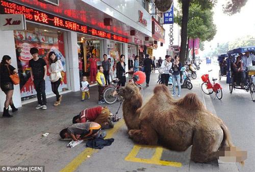 Thanh niên dắt lạc đà bị tật quanh phố để xin tiền - 1