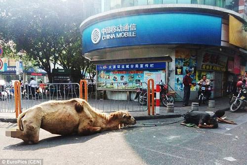Thanh niên dắt lạc đà bị tật quanh phố để xin tiền - 2